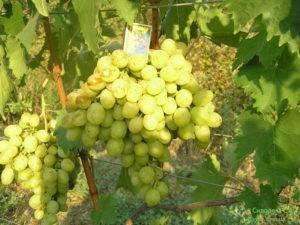 Описание и правила выращивания винограда сорта ланселот
