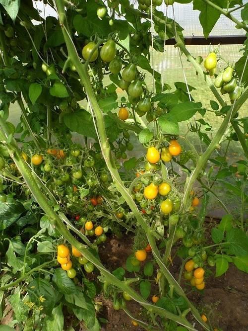 Крохотный вкусный томат медовая капля – особенности агротехники