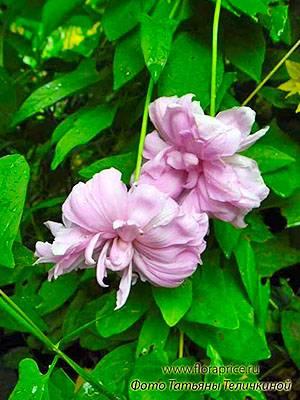 Повой или калистегия махровая: выращивание, фото, использования декоративной лианы в ландшафтном дизайне для вертикального озеленения участка