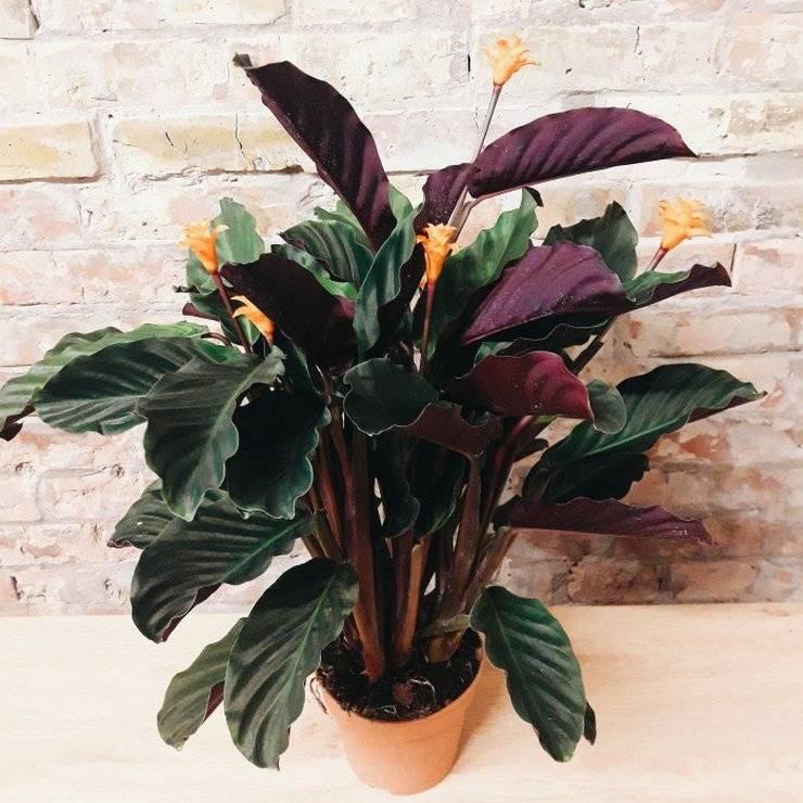 Цветок калатея (53 фото): уход в домашних условиях, медальон, лансифолия, варшевич, сандериана, замечательная, виды