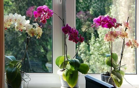 Советы профессионалов: как добиться обильного цветения орхидеи