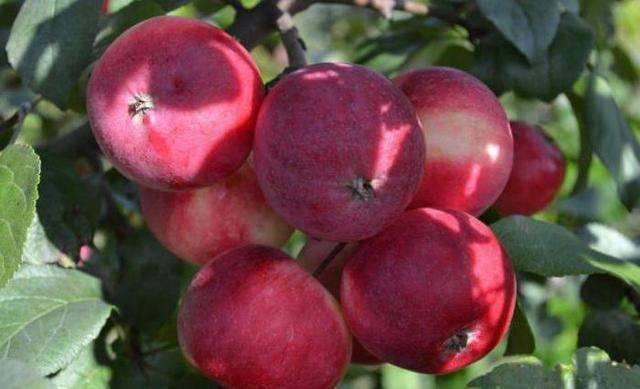 Яблоня заветное: описание, фото, отзывы о сорте