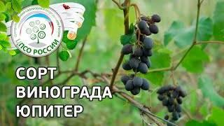 Виноград юпитер: описание сорта кишмиш из сша, опыт в россии