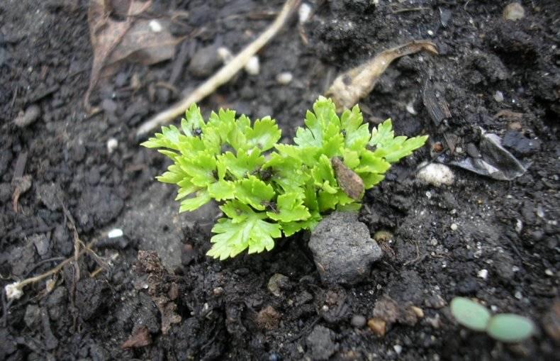 Посев петрушки для быстрого всхода в открытом грунте весной