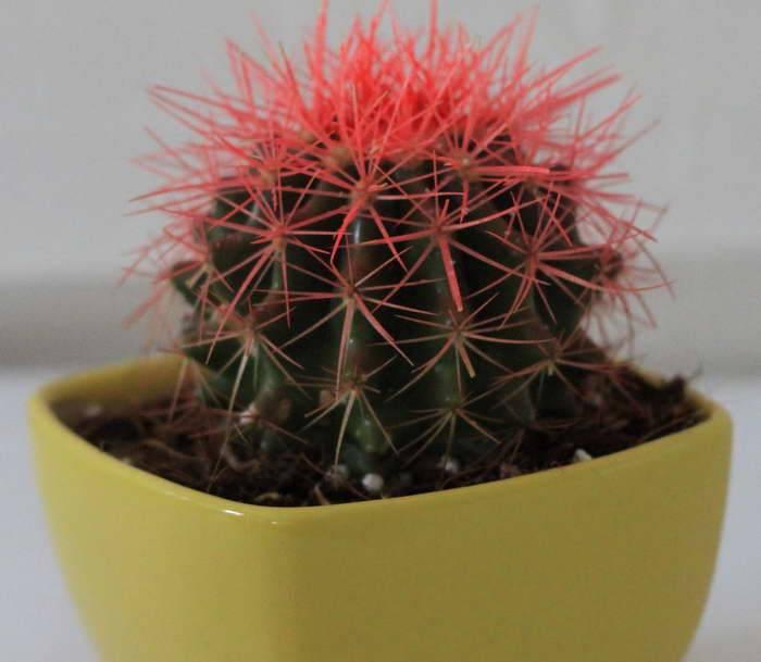 Как вырастить эхинокактус на подоконнике и добиться цветения