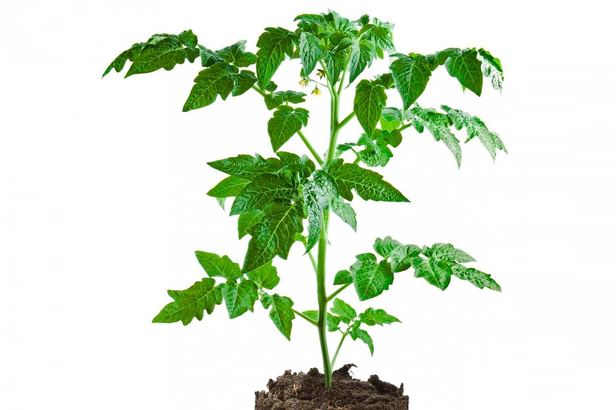 Томаты: от посева на рассаду до высадки в огород