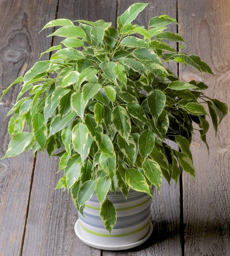 Фикус мелколистный бенджамин: уход и размножение, научное название растения с мелкими листьями, а также как размножить в домашних условиях
