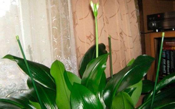 Эухарис: 5 примет, связанных с цветком