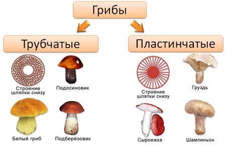 Плодовое тело | справочник пестициды.ru