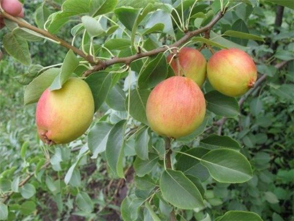"""Груша """"красуля"""": описание сорта, фото плодов, техника посадки и ухода selo.guru — интернет портал о сельском хозяйстве"""