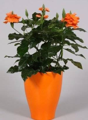 Цветок кроссандра в домашних условиях - уход, выращивание