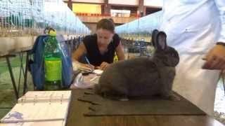 Особенности венских кроликов