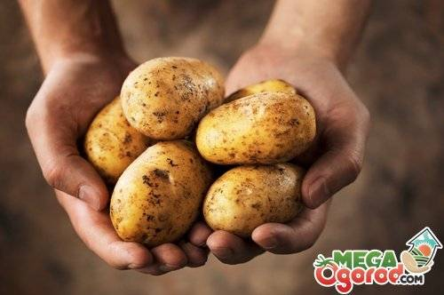 Курсовая работа: технология возделывания картофеля на семена в зоне красноярской лес - bestreferat.ru
