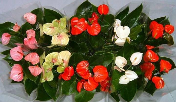 Каким образом ухаживать за цветком «женское счастье», чтобы он цвел, и как сделать, чтобы бутонов было больше?