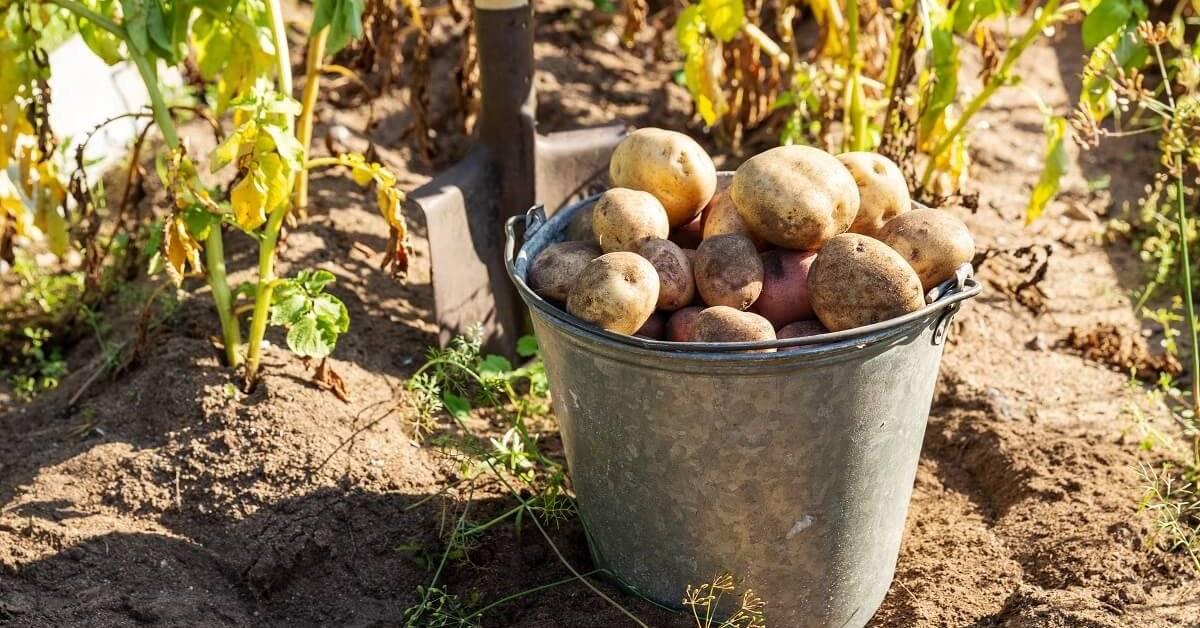 Что делать, если у картофеля слишком высокая ботва