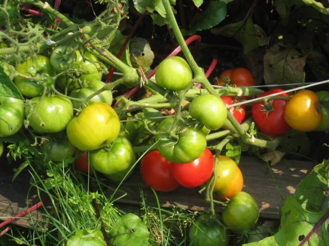 ✅ бони м: описание сорта томата, характеристики помидоров, посев - tehnomir32.ru
