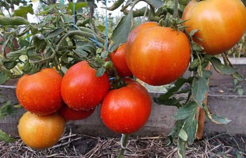 Лучшие сорта низкорослых томатов