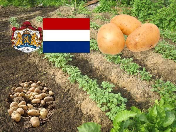 Посадка картофеля по голландской технологии + видео - скороспел