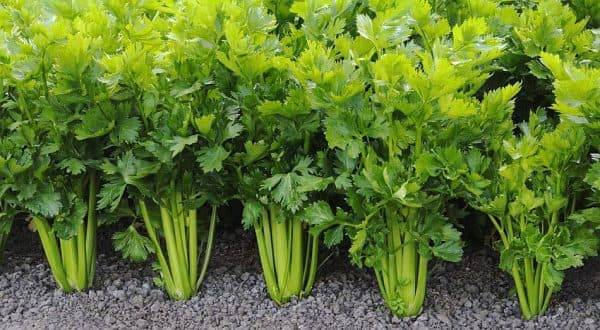 Сельдерей: выращивание на огороде и подоконнике