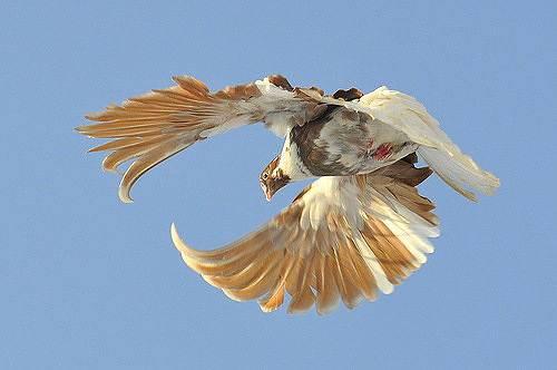 Свердловские высоколётные голуби