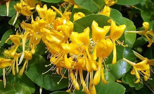 Жимолость декоративная вьющаяся   во саду и в огороде