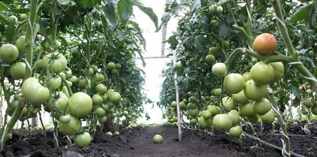 Особенности сорта помидоров пинк парадайз
