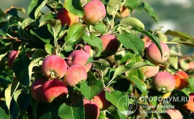 Яблоня слава приморья: особенности сорта и ухода