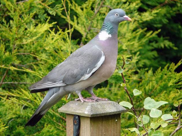 Разновидности диких и лесных голубей, фото