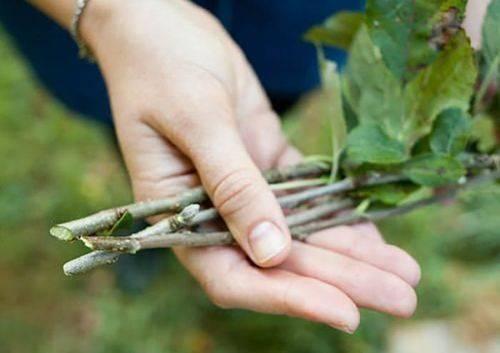Как размножить грушу из ветки, черенками, воздушными отводками