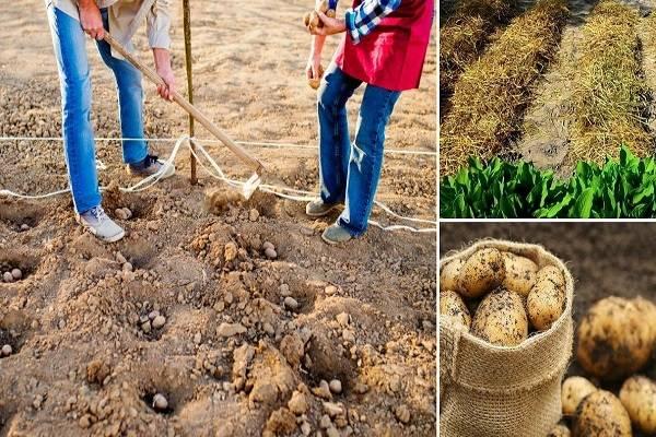Как увеличить урожайность картофеля с 1 га: эффективные способы