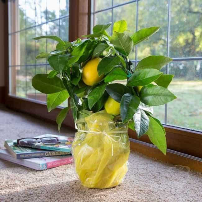 Комнатный лимон: уход в домашних условиях, болезни и вредители