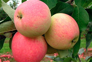 Сорт яблок заветный: описание и характеристики, посадка, уход и профилактика заболеваний selo.guru — интернет портал о сельском хозяйстве