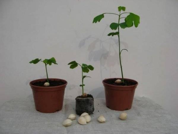 Гинкго билоба: выращивание, размножение и уход