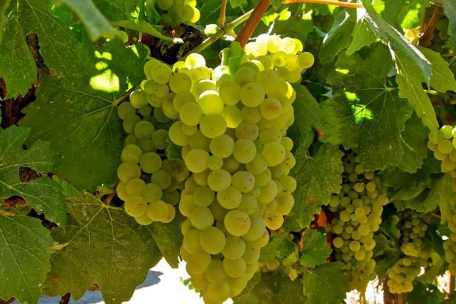 Сорт винограда шардоне - сорта винограда, винные | описание, советы, отзывы, фото и видео