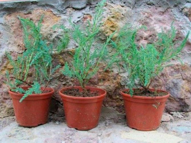 Бисерный кустарник тамарикс и его выращивание
