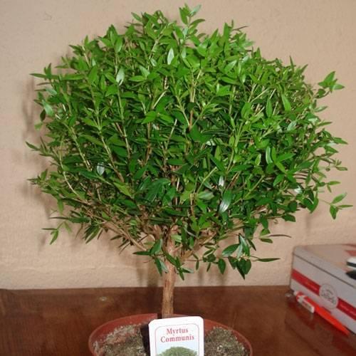 Мирт: полезные, вредные и лечебные свойства selo.guru — интернет портал о сельском хозяйстве