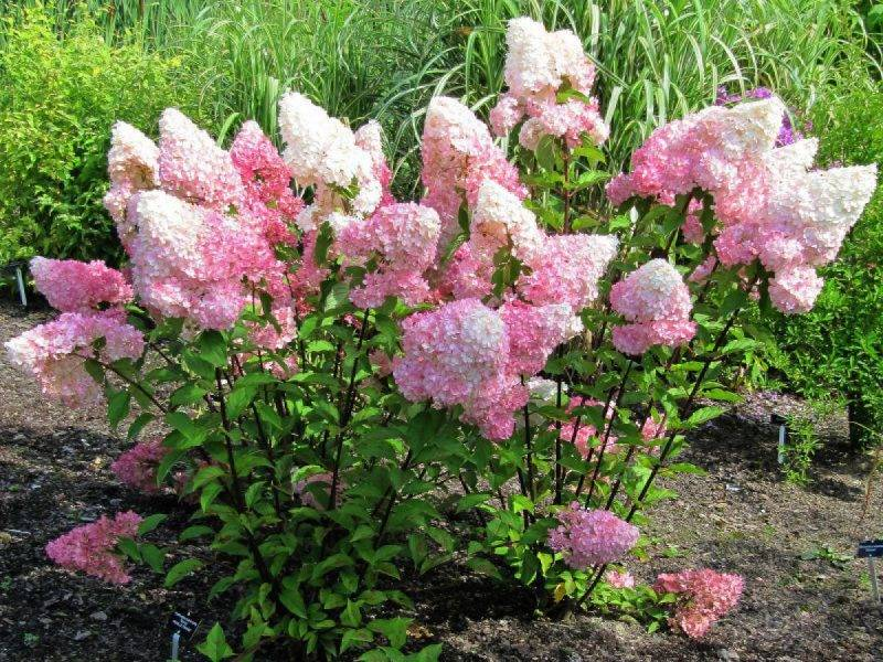 Выращивание гортензии мэджикал кэндл: полив, подкормка и размножение цветка