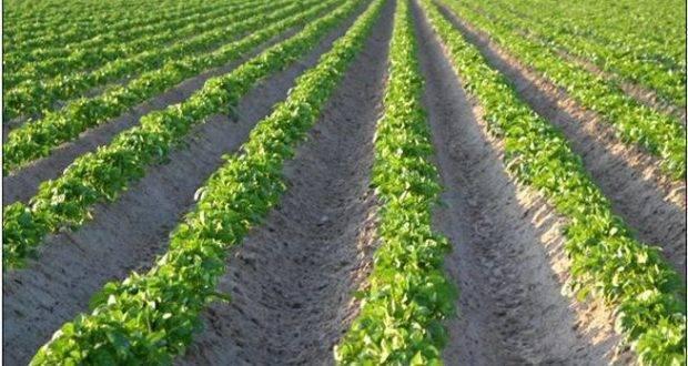 Как правильно и сколько раз окучивать картошку, чтобы получить хороший урожай
