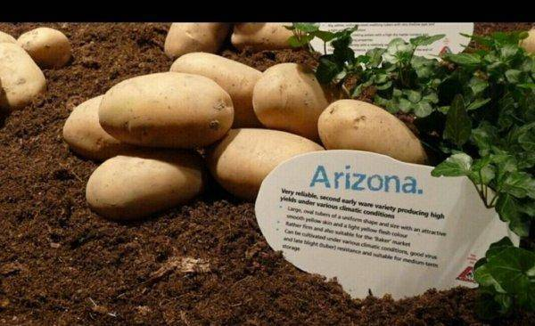 ᐉ сорт картофеля «зекура» – описание и фото - roza-zanoza.ru