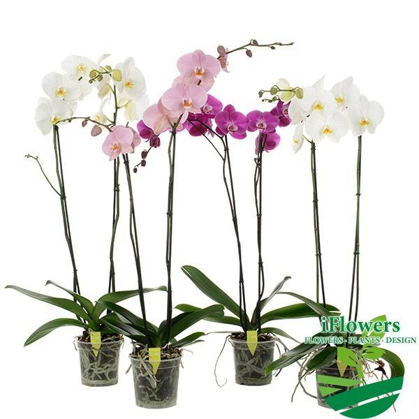 Белые орхидеи: виды и уход в домашних условиях