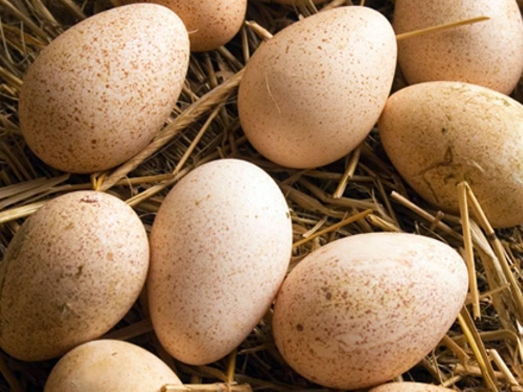 Советы по выведению индюшиных яиц в инкубаторе: правила инкубации индюшиных яиц, вывод в домашних условиях