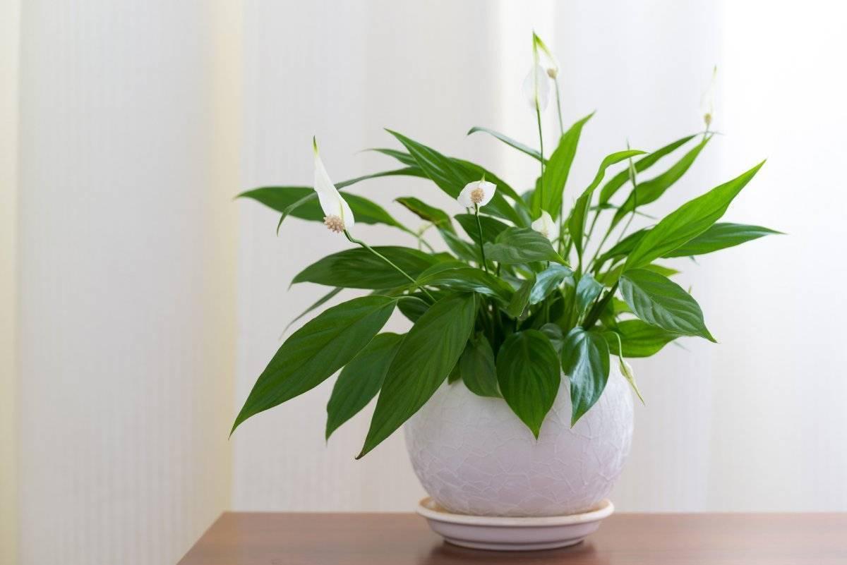 Удобрение для спатифиллума. уход, пересадка и полив в домашних условиях