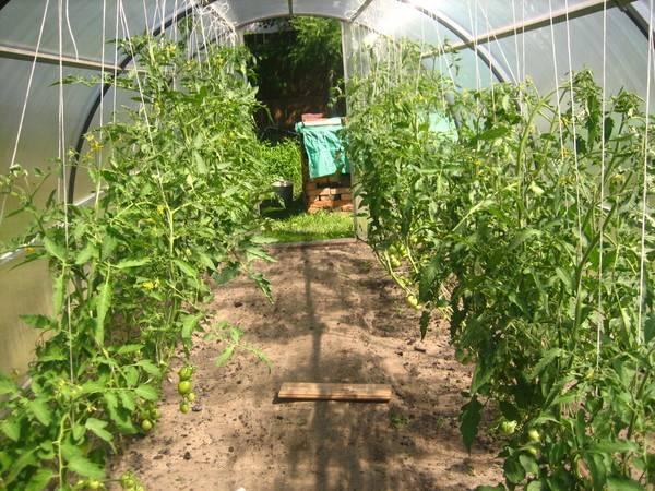Высадка рассады перца в теплицу: как создать комфортные условия для большого урожая