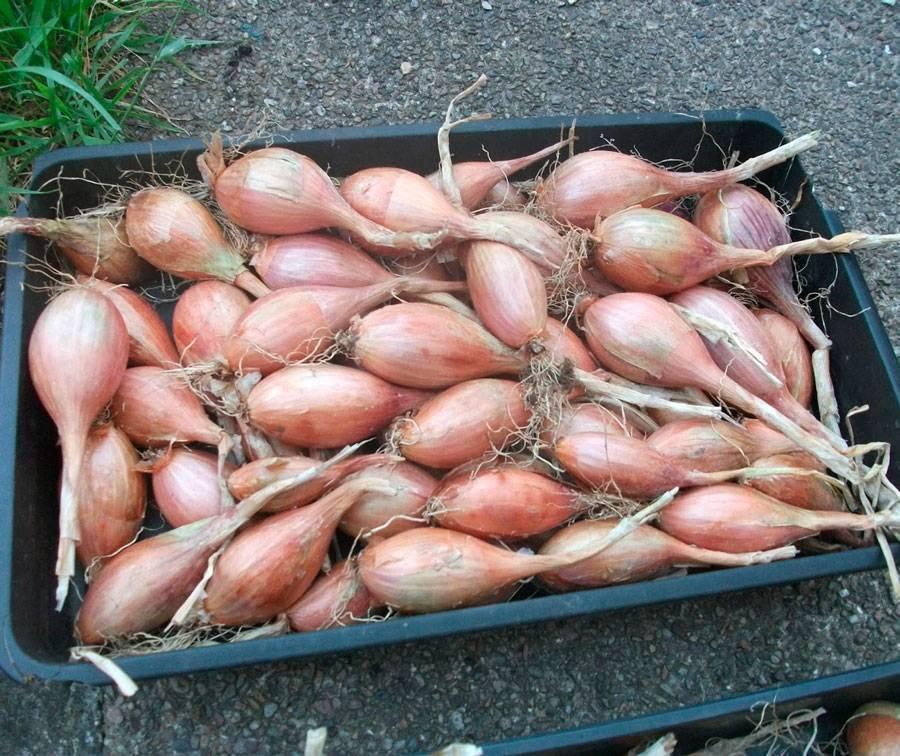 Лук шалот: фото, выращивание и уход, инструкция по посадке и описание агротехники в открытом грунте и теплице