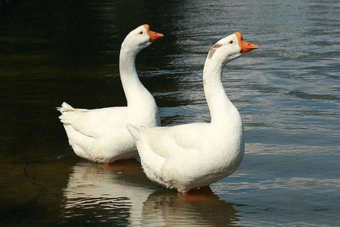 Домашние гуси: особенности выращивания и разведения