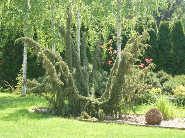 Можжевельник хорстманн — особенности культивирования