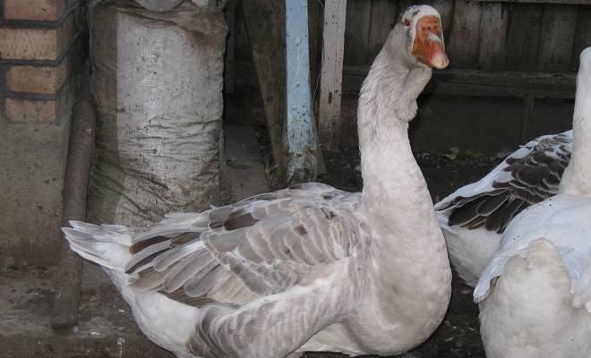 Породы гусей с фотографиями и названиями - все виды домашней птицы