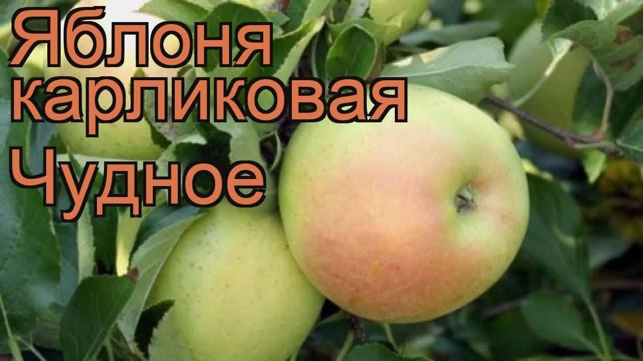 Яблоня братчуд (брат чудного): фото и описание сорта, отзывы