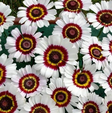 Хризантема килеватая выращивание из семян