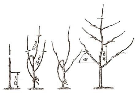 Обрезка яблони, когда и как правильно ее делать, в том числе особенности формирования кроны на разных этапах развития растения
